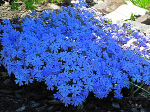 MIX Color Phlox 350 Pcs Flowers Seeds
