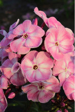 Load image into Gallery viewer, MIX Color Phlox 350 Pcs Flowers Seeds