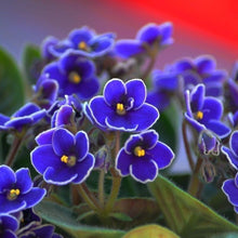 Load image into Gallery viewer, Dark Blue Color Saintpaulia Ionantha 400 Pcs Flowers Seeds