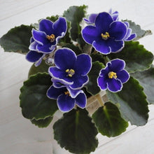 Load image into Gallery viewer, Dark Blue Color Saintpaulia Ionantha 80 Pcs Flowers Seeds