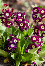 Load image into Gallery viewer, Primula Malacoides 400 Pcs Flowers Seeds