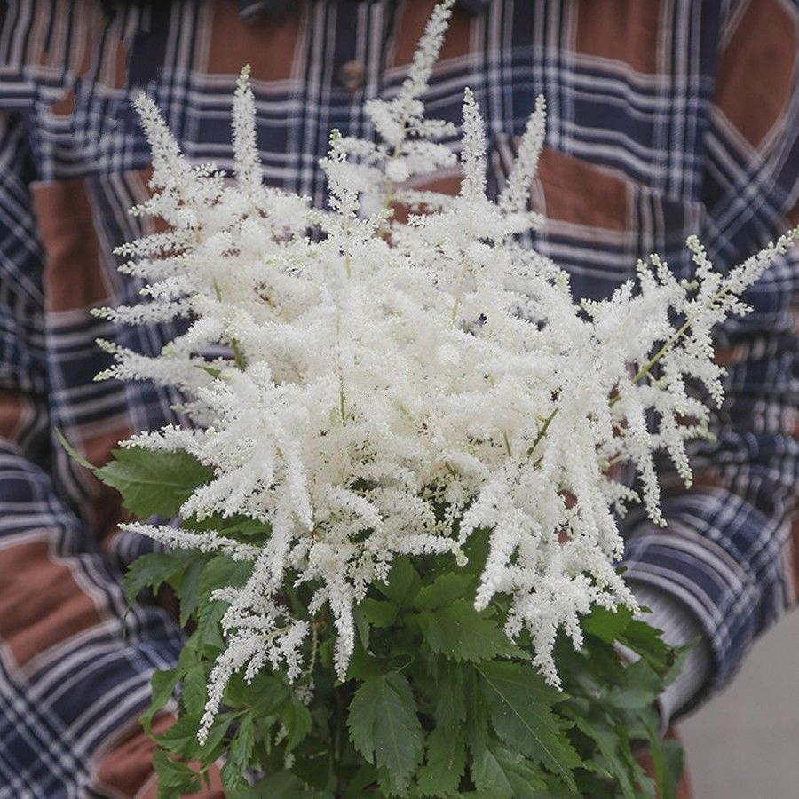 White Astilbe Chinensis 300 Pcs Flowers Seeds