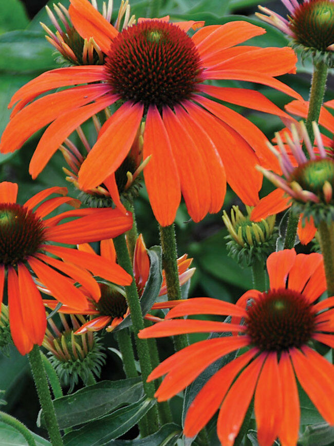 Echinacea Mix Coreflower 300 Pcs Flowers Seeds
