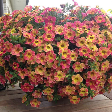 Pink Petunia Flower with Yellow Eye 100 Pcs Flowers Seeds