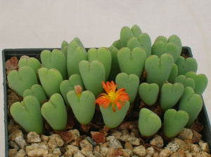 Conophytum bilobum (Living Pebble) 15 Pcs Seeds