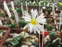 Load image into Gallery viewer, Conophytum cubicum 10 Pcs Seeds