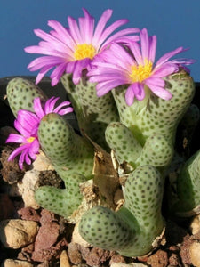 Conophytum marginatum 10 Pcs Seeds