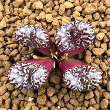 Load image into Gallery viewer, Conophytum obcordellum (Dumpling) 10 Pcs Seeds