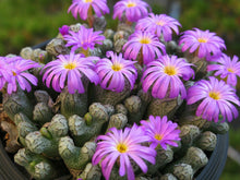 Load image into Gallery viewer, Conophytum turrigerum 10 Pcs Seeds