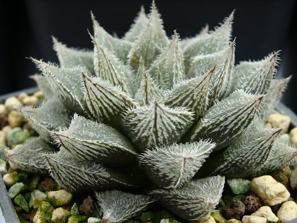 HAWORTHIA 'KEGANI' 6 Pcs Seeds