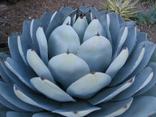 Load image into Gallery viewer, Agave parryi var. truncata 'Huntington' 20 Pcs Seeds