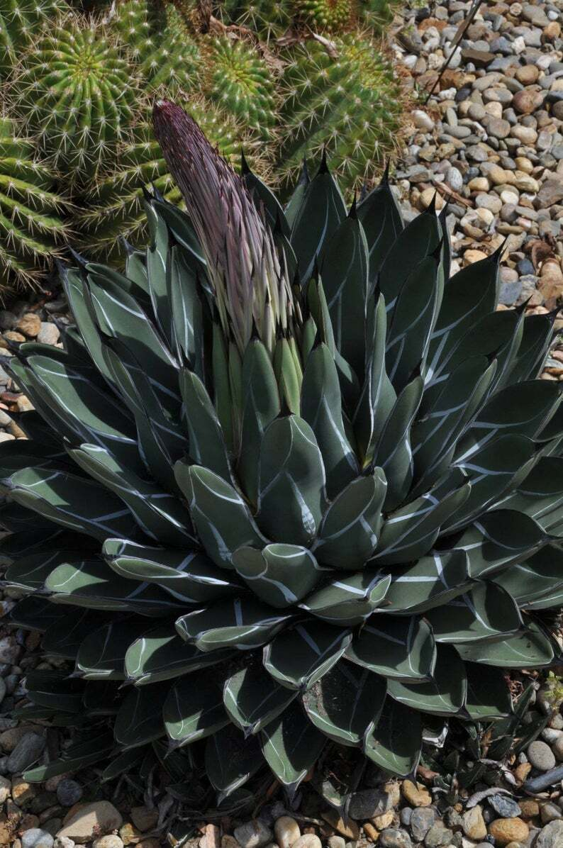 Agave nickelsiae 10 Pcs Seeds