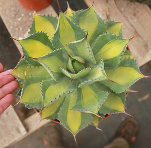 AGAVE ISTHMENSIS 'RUM RUNNER' 10 Pcs Seeds
