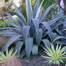Load image into Gallery viewer, Weberi Agave 10 Pcs Seeds