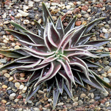 Load image into Gallery viewer, Echeveria lutea Fantasmas 10 Pcs Seeds