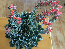 Load image into Gallery viewer, ECHEVERIA 'BLUE FRILLS' 10 Pcs Seeds