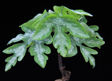 Load image into Gallery viewer, Adenia metamorpha 5 Pcs Seeds