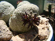 Load image into Gallery viewer, Pseudolithos migiurtinus 5 Pcs Seeds