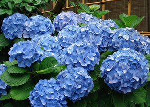 Eudicots Blue Hydrangea Flowers Seeds 20 Pcs