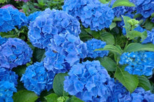 Load image into Gallery viewer, Eudicots Blue Hydrangea Flowers Seeds 20 Pcs