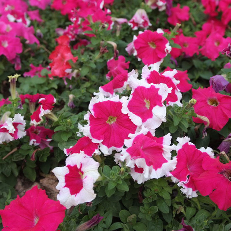 Red White Mix Petunia 280 Pcs Flowers Seeds