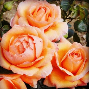 Rose 'Lady Marmalade'  160 Pcs Flowers Seeds