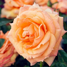 Load image into Gallery viewer, Rose 'Lady Marmalade'  160 Pcs Flowers Seeds