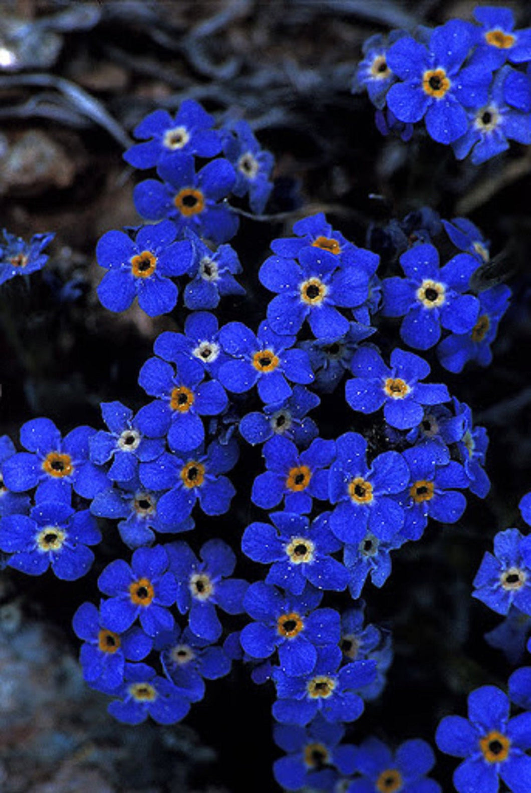 Alpine Forget-me-not Flowers 120 Pcs Flowers Seeds