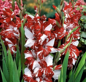 "Gladiolus ""Sweetie"" 20 Pcs Flowers Seeds"