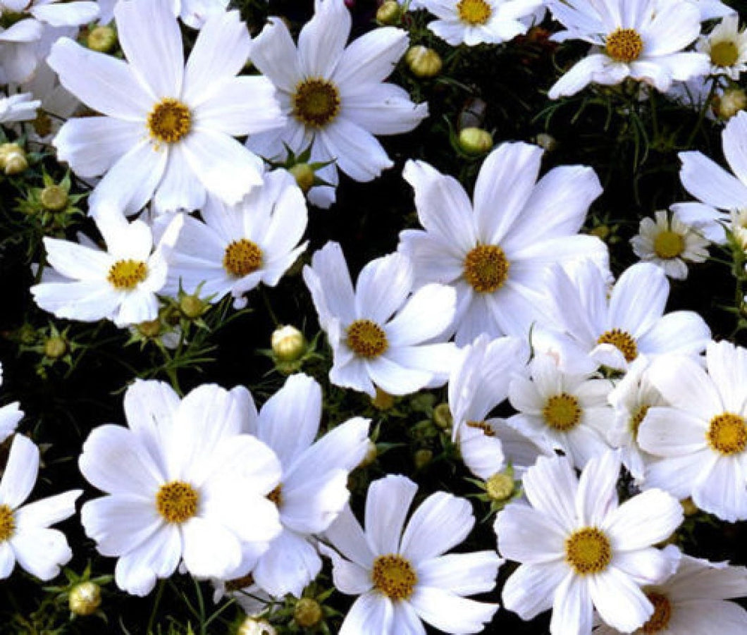 Cosmos Purity 120 Pcs Flowers Seeds