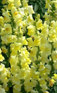 Snapdragon Rocket Yellow 30 Pcs  Flowers Seeds