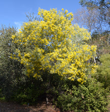 Load image into Gallery viewer, Queensland Silver Wattle (10 Seeds)