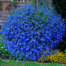 Load image into Gallery viewer, Lobelia Blue Flowers Seeds 80 Pcs