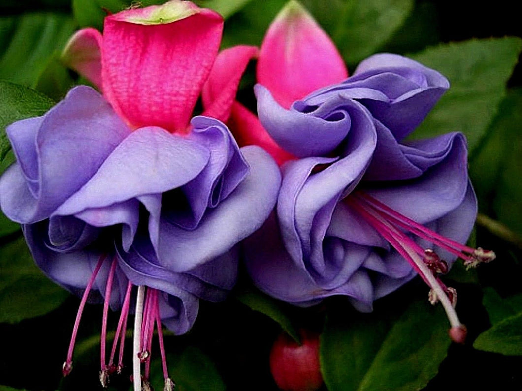 Purple Fuchsia Flowers Seeds 80 Pcs