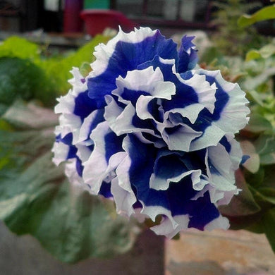 Dark Blue White Picotee 100 Pcs Petunia Flowers Seeds