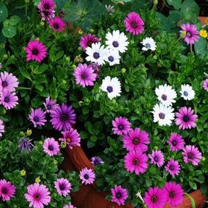 Osteospermum Ecklonis - South African Marigold 200 Pcs Flowers Seeds