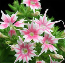 Load image into Gallery viewer, Phlox Drummondii Cuspidata- Twinkle Star 70 Pcs Flowers Seeds