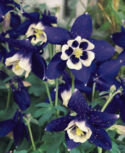 Load image into Gallery viewer, Double Pleat Blue And White Aquilegia Hybrid 150 Pcs Flowers Seeds