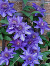 Load image into Gallery viewer, Light Purple Clematis 70 Pcs Flowers Seeds