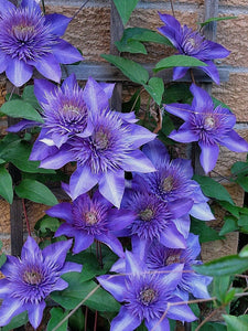 Light Purple Clematis 70 Pcs Flowers Seeds