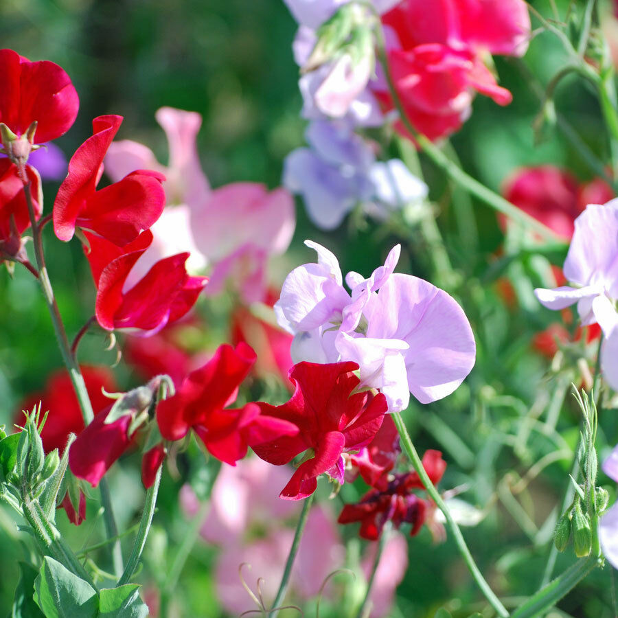 Sweet Pea Fragrant Mix - 50 Pcs Flowers Seeds