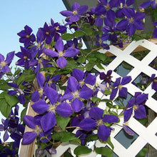 Load image into Gallery viewer, Clematis Mix 70 Pcs Flowers Seeds
