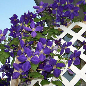Clematis Mix 70 Pcs Flowers Seeds