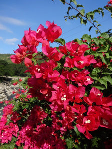 Red Bougainvillea Spectabilis 300 Pcs Flowers Seeds
