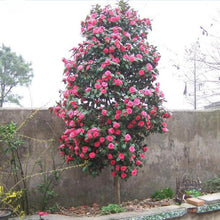 Load image into Gallery viewer, Garden Camellia 5 Pcs Flowers Seeds
