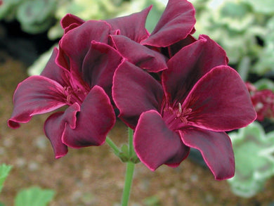 Geranium Purple Tulip Pelargonium 18 Pcs Flowers Seeds