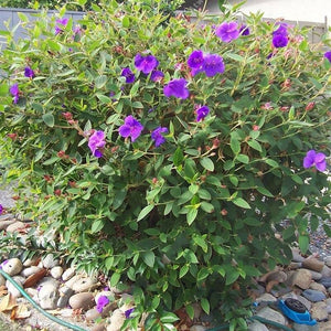 Mandevilla Purple 70 Pcs Flowers Seeds
