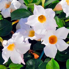 Load image into Gallery viewer, White Mandevilla 60 Pcs Flowers Seeds