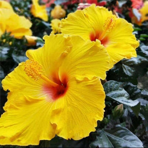 Giant Yellow Hibiscus Flower 70 Pcs Flowers Seeds