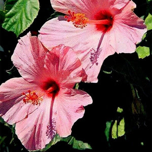 Light Pink Hibiscus 80 Pcs Flowers Seeds
